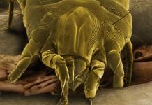 acari-della-polvere